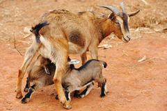 Free Goat Royalty Free Stock Photography - 9340667