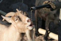 Free Goat Stock Photo - 980210