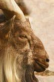 Goat Stock Photography