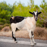 Goat at Afrata - Creta Royalty Free Stock Image