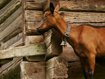A goat against the background of a wooden wall stock images