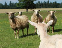 Goat against sheeps. White goat standing against four sheeps Royalty Free Stock Images
