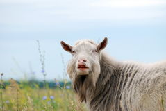 Goat aggressive leader looks Royalty Free Stock Photos
