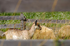 Goat and aheep in the corral Royalty Free Stock Photo