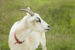 Goat Alone Royalty Free Stock Photography