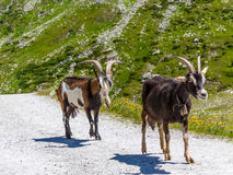 Goat in alp Royalty Free Stock Photos