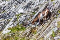 Goat in alps Stock Image