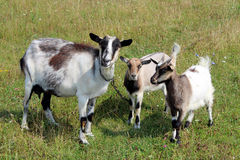 Goat And Kids On The Pasture Royalty Free Stock Image