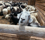 Free Goat And Sheep Royalty Free Stock Image - 29005076