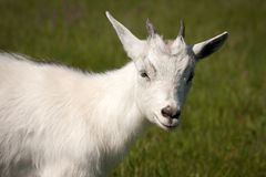 Goat animal Royalty Free Stock Image