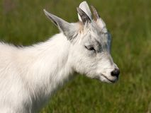 Goat animal Stock Photo