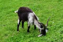 Got grey white black with long horns grazing on a meadow royalty free stock photography