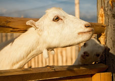 Goat in the animal farm. Royalty Free Stock Photos