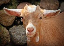 Goat, Animal, Horns, Mammals Stock Photos