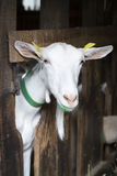 Goat in an animal stable Royalty Free Stock Photography