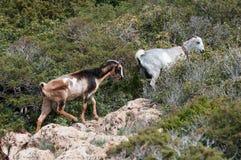 Goat animals Stock Photos