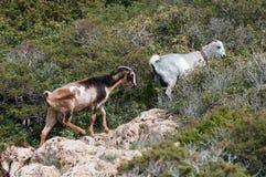 Goat animals Royalty Free Stock Image