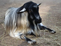 Goat animals Royalty Free Stock Photo