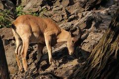 Goat antelope in rocks Royalty Free Stock Photos