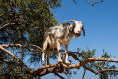 Goat in Argan Argania spinosa tree, Morocco. Black and white goat in Argan Argania spinosa tree as seen in Morocco. Tamri goats climbing argan tree with goat stock photos