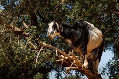Goat in Argan Argania spinosa tree, Morocco. Black and white goat in Argan Argania spinosa tree as seen in Morocco. Tamri goats climbing argan tree with goat stock photography