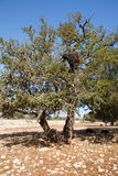 Goat in argan tree Royalty Free Stock Photo