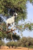 Goat on the argan tree, Morocco royalty free stock images