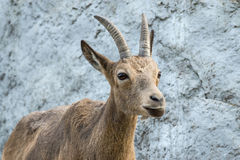 The goat attentively looks aside imagem de stock royalty free