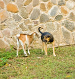 A goat with attitude in the caribbean. A kid making friends with a dog at a local limespot on bequia stock photos
