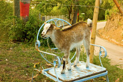 A goat with attitude in the caribbean. A kid occupying a chair at a local limespot on bequia stock photo