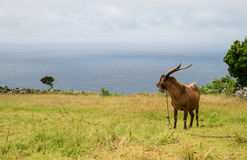 Goat on Azores. Portugal Azores landscape with a goat Stock Image