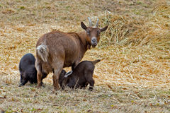 Goat with Babies Royalty Free Stock Photography