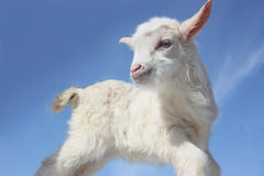 Free Goat Baby Royalty Free Stock Photography - 13344357