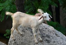 Goat baby Stock Photo