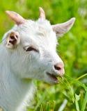 Goat baby eats  the grass close up Stock Photos