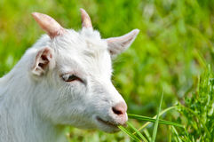 Goat baby on the grass close up portrait Stock Photo