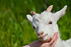 Goat baby on the hand close up portrait Royalty Free Stock Image