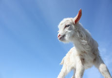 Goat baby kid stock photo