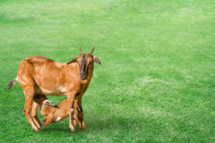 Goat with baby kid on the meadow Royalty Free Stock Photo