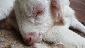 Goat Baby. New born goat baby on an animal farm Stock Image