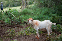 Goat. Baby goat standing guard at farm just outside of Havana, Cuba Royalty Free Stock Photos