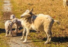 Goat Back Scratch Royalty Free Stock Image