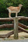 Goat balanced on fence. Image of a goat that has climbed onto the top of a fence Stock Photography
