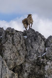 Goat balancing on rock Stock Images