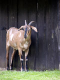 Goat before barn Royalty Free Stock Photos