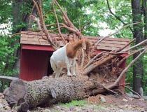 Goat by Barn Stock Photos