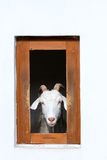 Goat in barn window Stock Image
