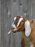 Goat in barnyard. Goat against grey weathered building Royalty Free Stock Photos