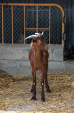 Goat in the barnyard Royalty Free Stock Photography