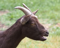 Goat In Barnyard Royalty Free Stock Images